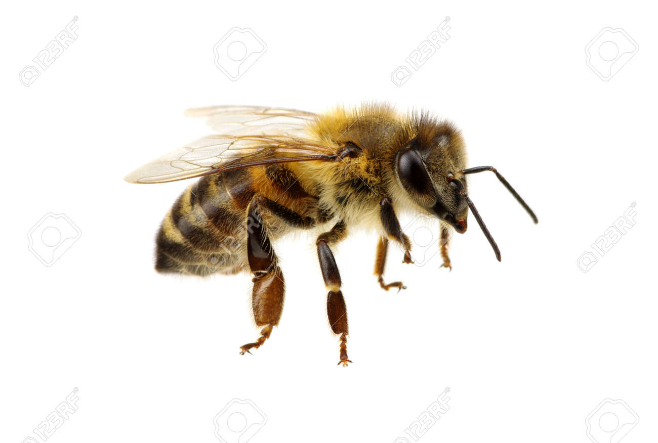 Bee isolated on the white Banque d'images - 54811193