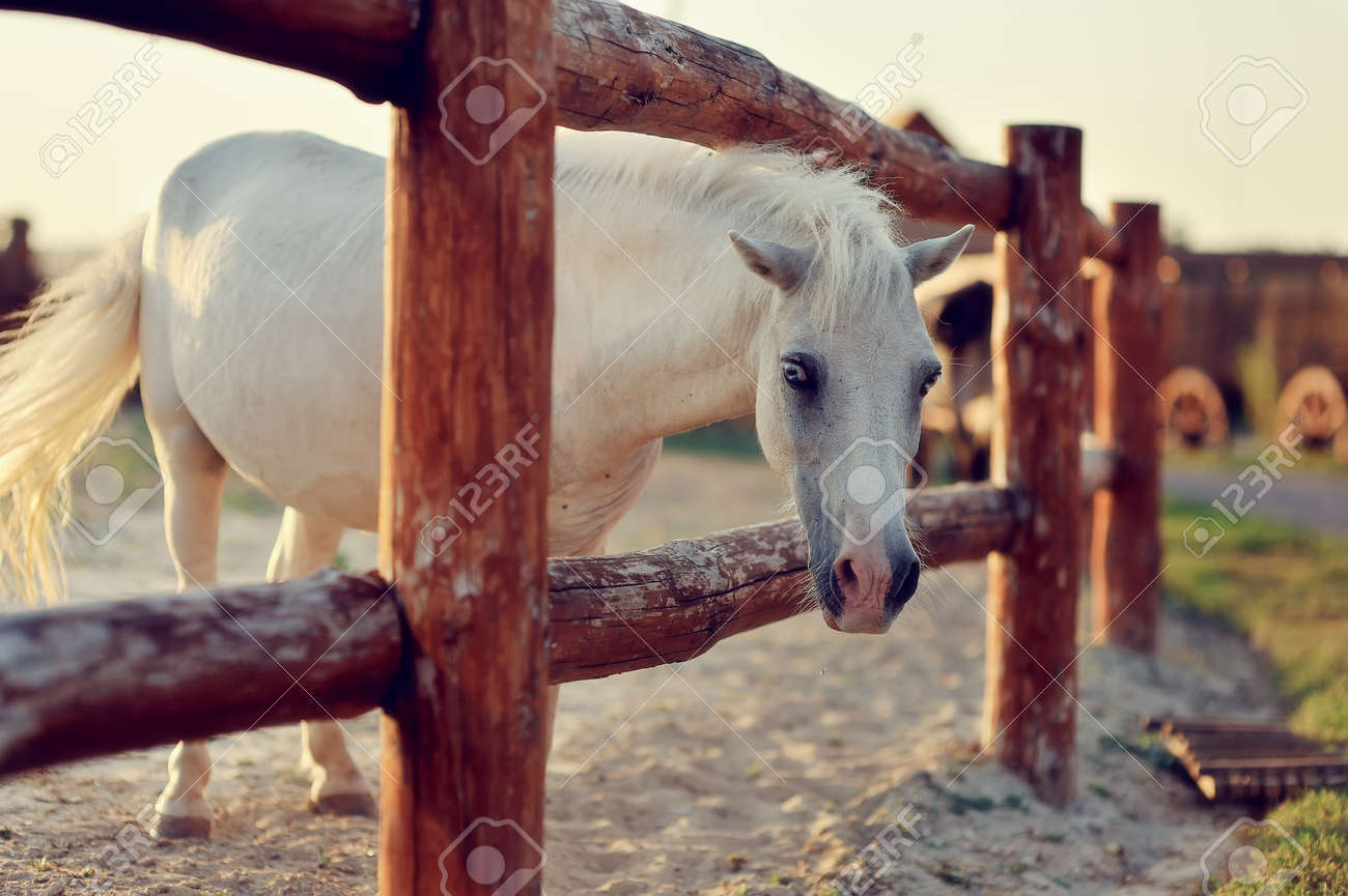 beautiful, quiet, white horse waits in paddock Stock Photo - 14806326