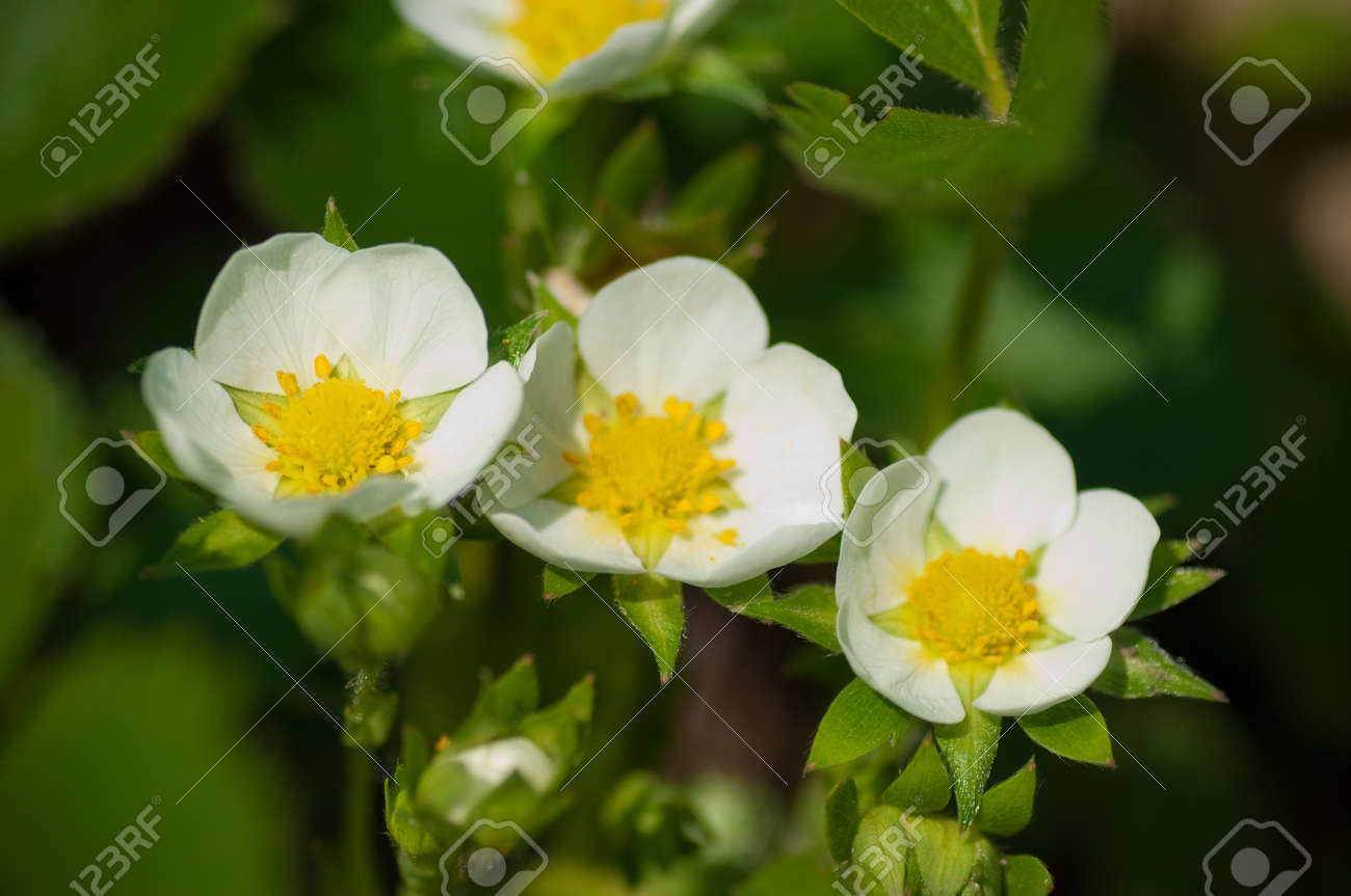 Close Up Of A Large White Flower With A Yellow Center Stock Photo