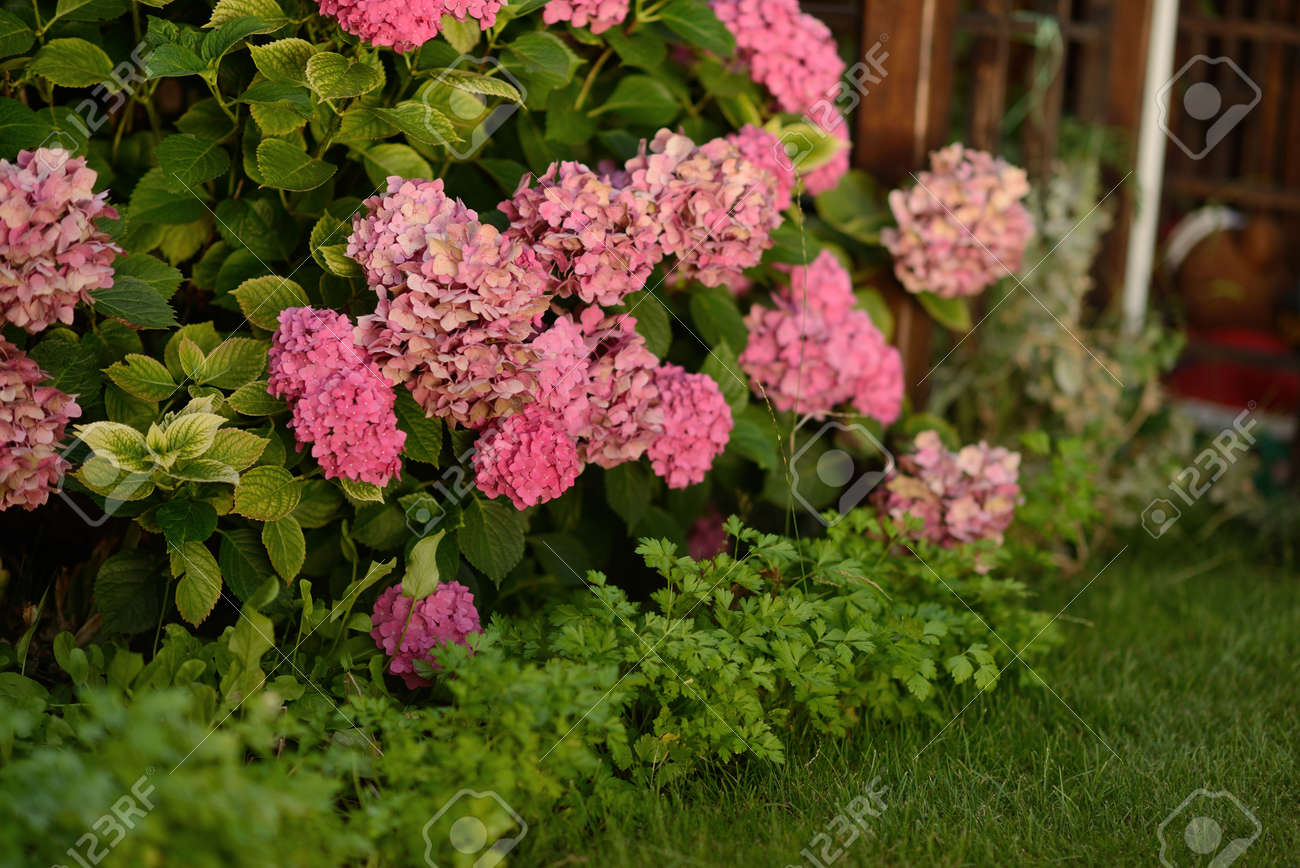 In The Green Leaves Of The Bush Large Pink Hydrangea Flowers Stock