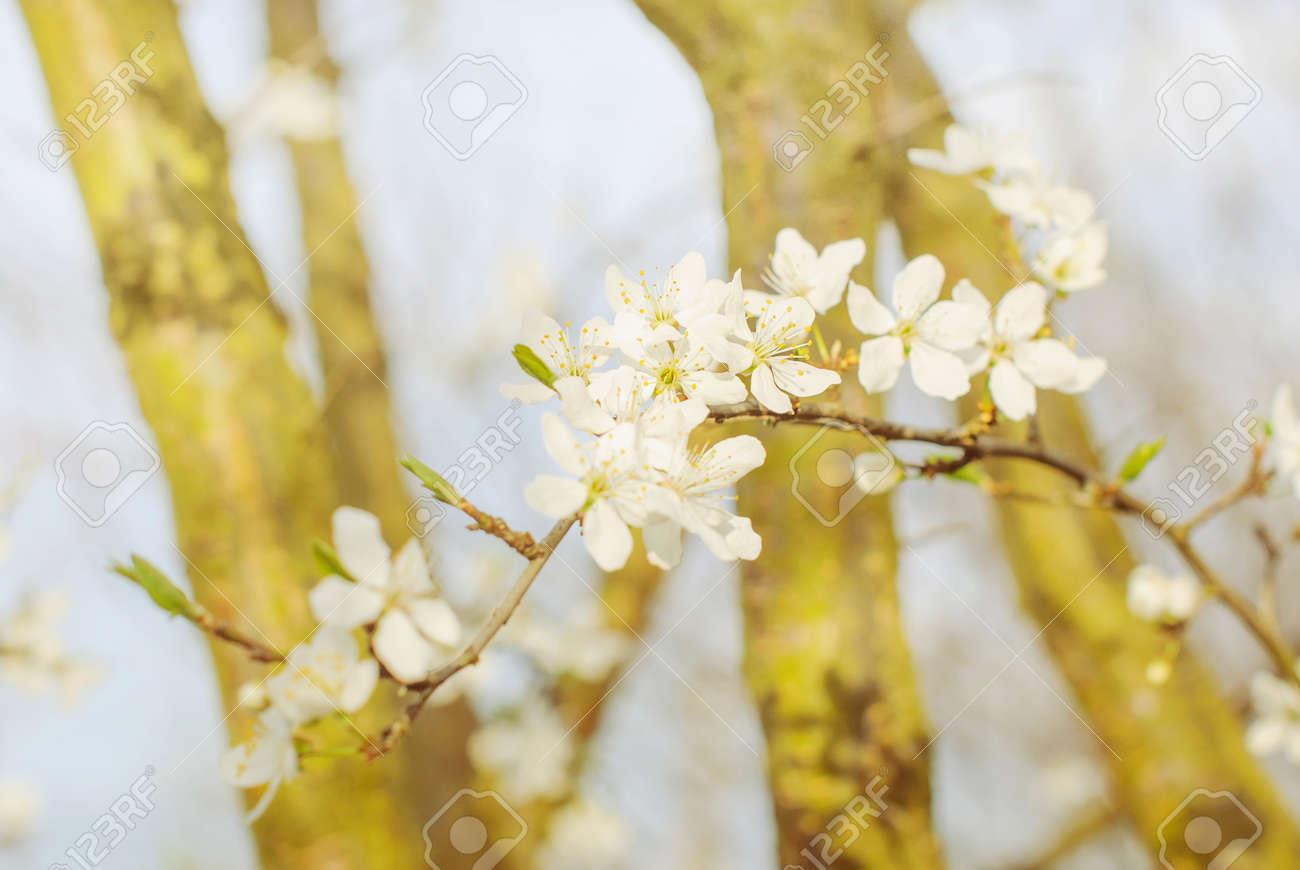 Albero Con Fiori Bianchi albero in fiore di primavera brunch con fiori bianchi