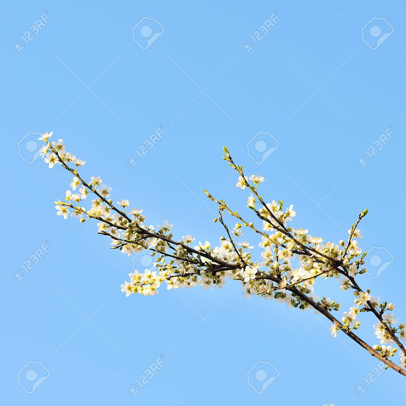 Blossoming Branches Of A Tree White Flowers On A Background Stock