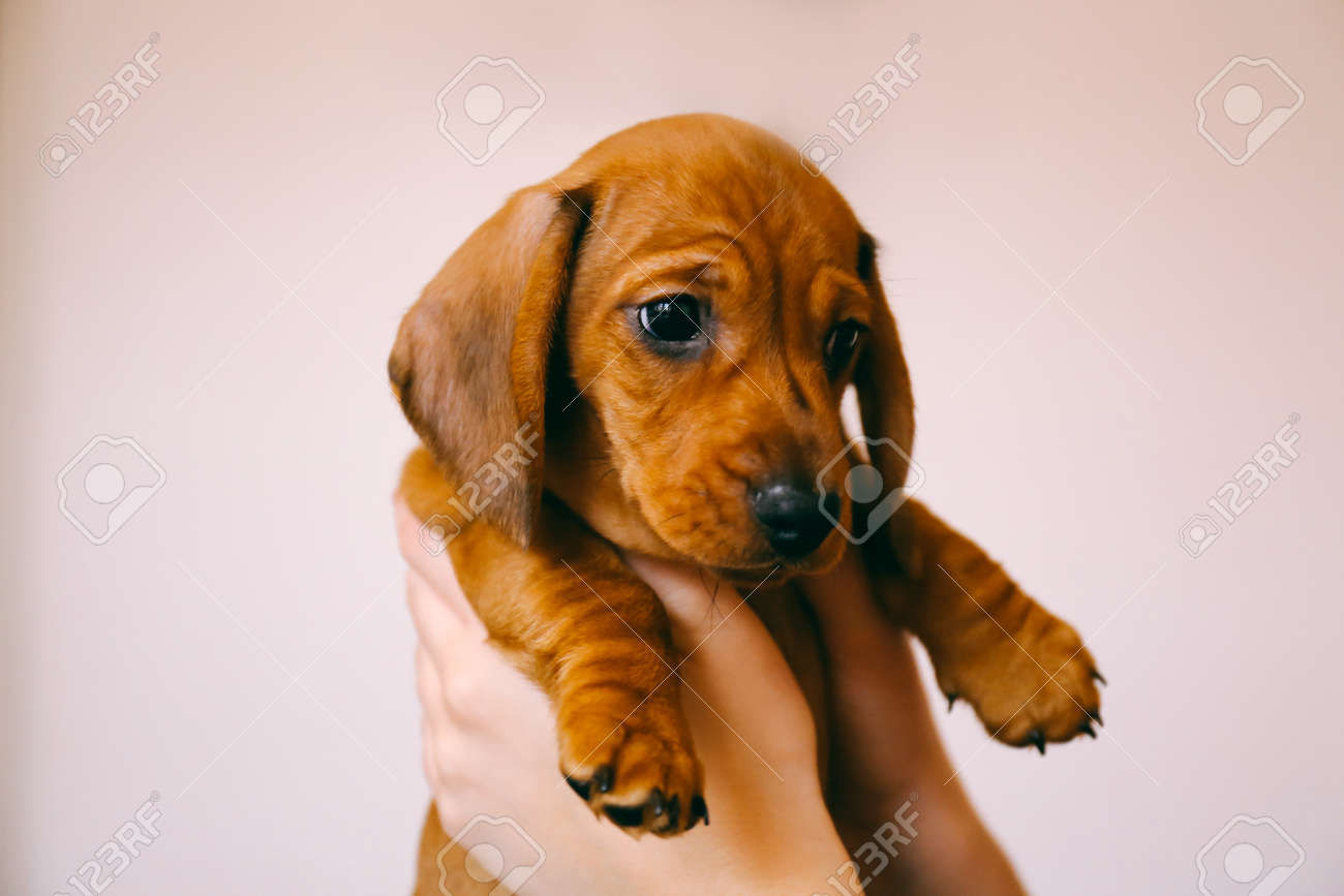 8 Weeks Old Smooth Hair Brown Dachshund Puppy Isolated In The Stock Photo Picture And Royalty Free Image Image 73437561