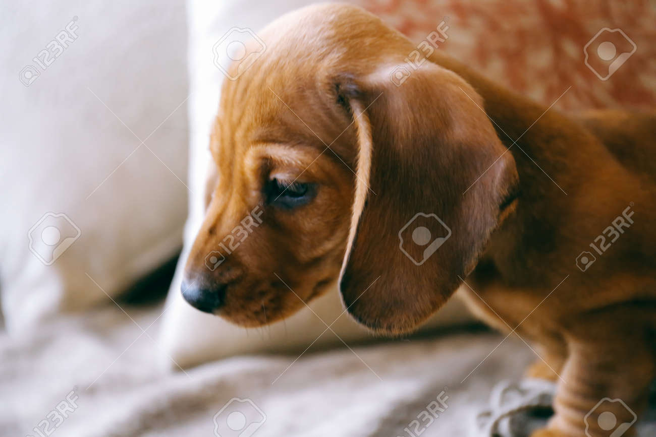 8 Weeks Old Smooth Brown Dachshund Puppy Curiously Looking Down Stock Photo Picture And Royalty Free Image Image 80986472