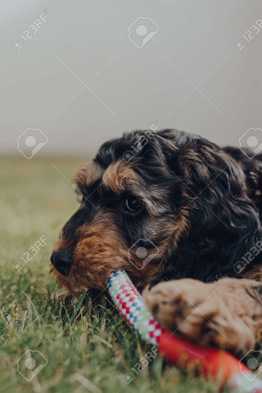 Close Up Of A Cute Two Month Old Cockapoo Puppy Playing With Stock Photo Picture And Royalty Free Image Image 151704183