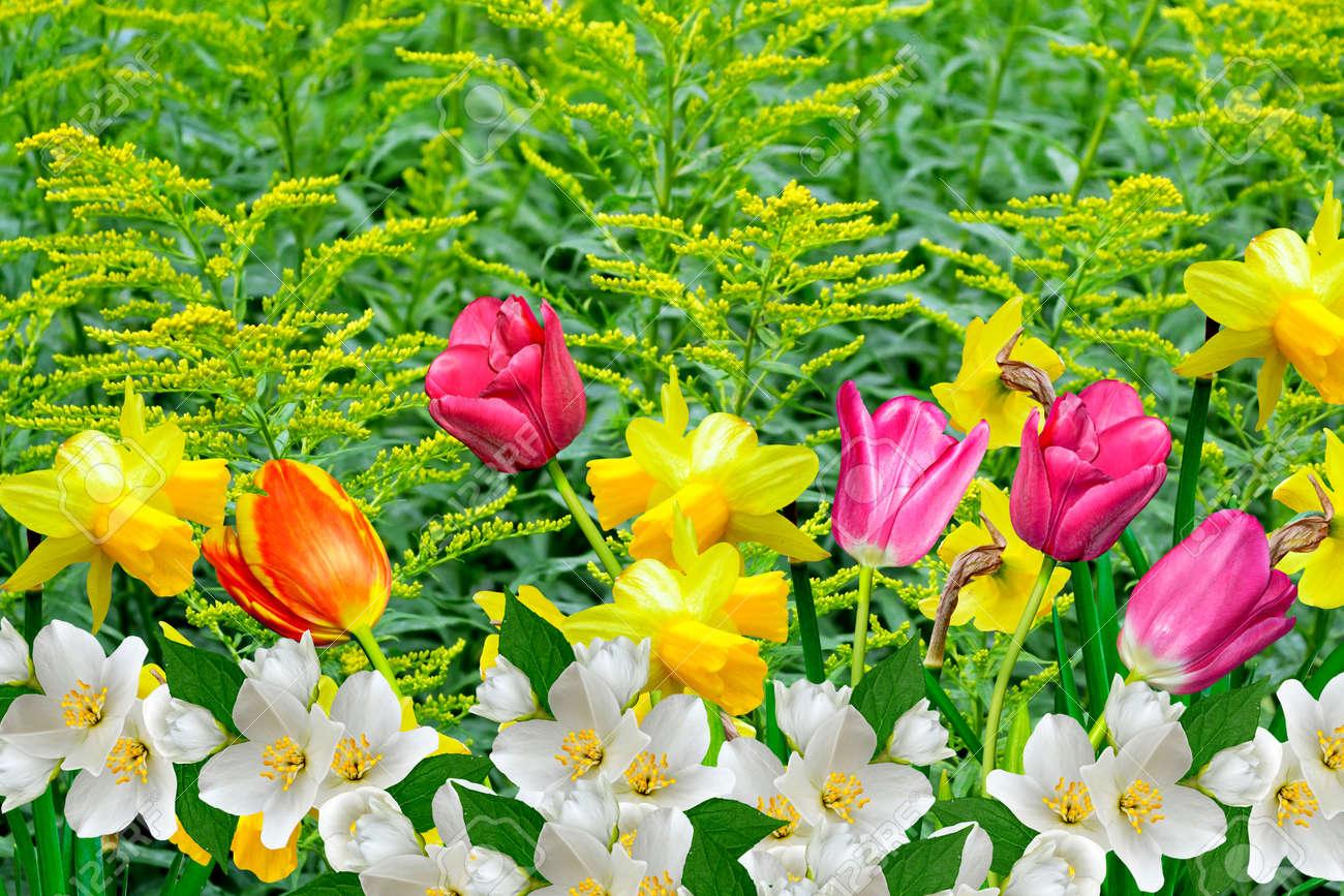 Banque d\u0027images , Fleurs de printemps jonquilles et les tulipes