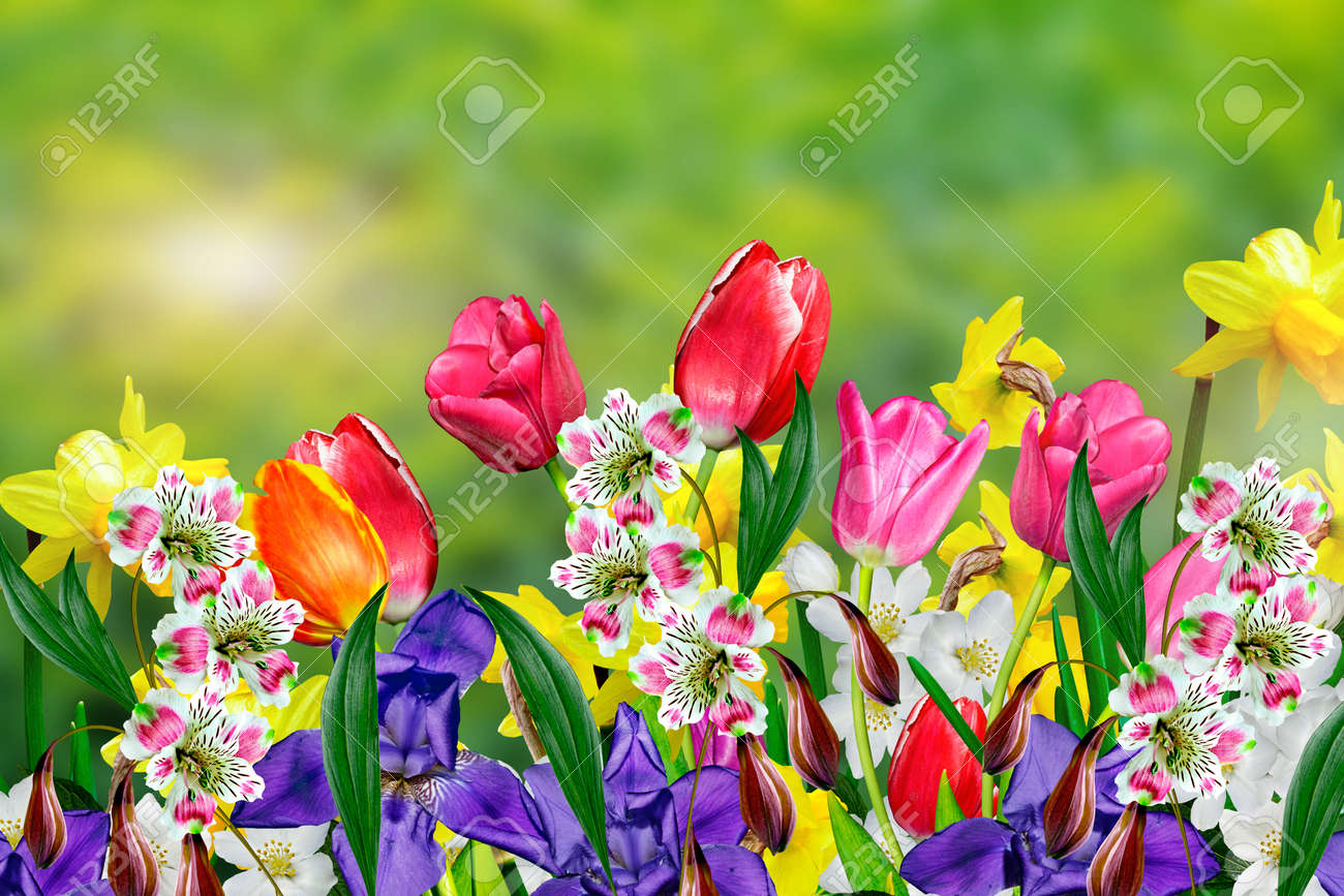 Spring Flowers Daffodils And Tulips Stock Photo Picture And