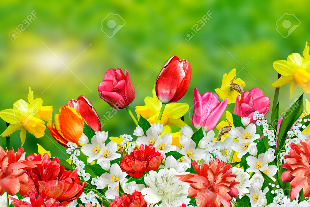 Spring Flowers Daffodils And Tulips Stock Photo Picture And Royalty
