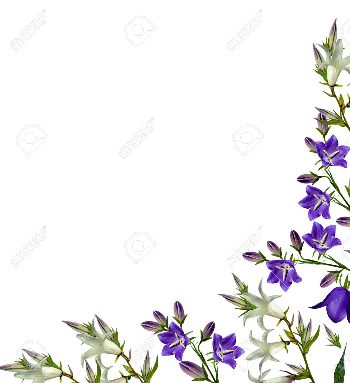 Bell Flower Isolated On White Background Stock Photo Picture And