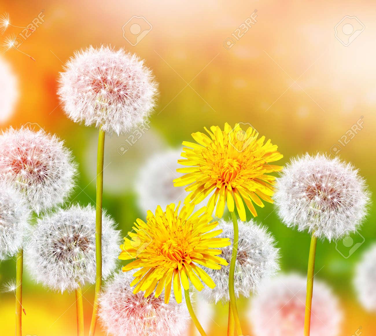 Flores Silvestres Dientes De Len Flores De Primavera Fotos