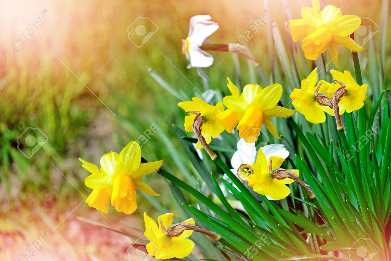 Spring Landscape Beautiful Spring Flowers Daffodils Yellow Stock