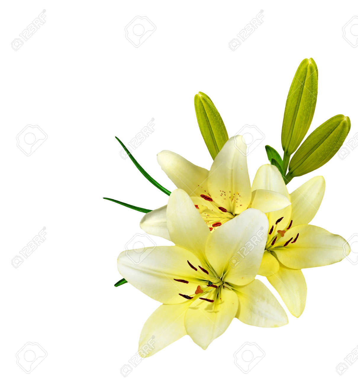Flower lily isolated on white background delicate flower stock flower lily isolated on white background delicate flower stock photo 51665995 mightylinksfo