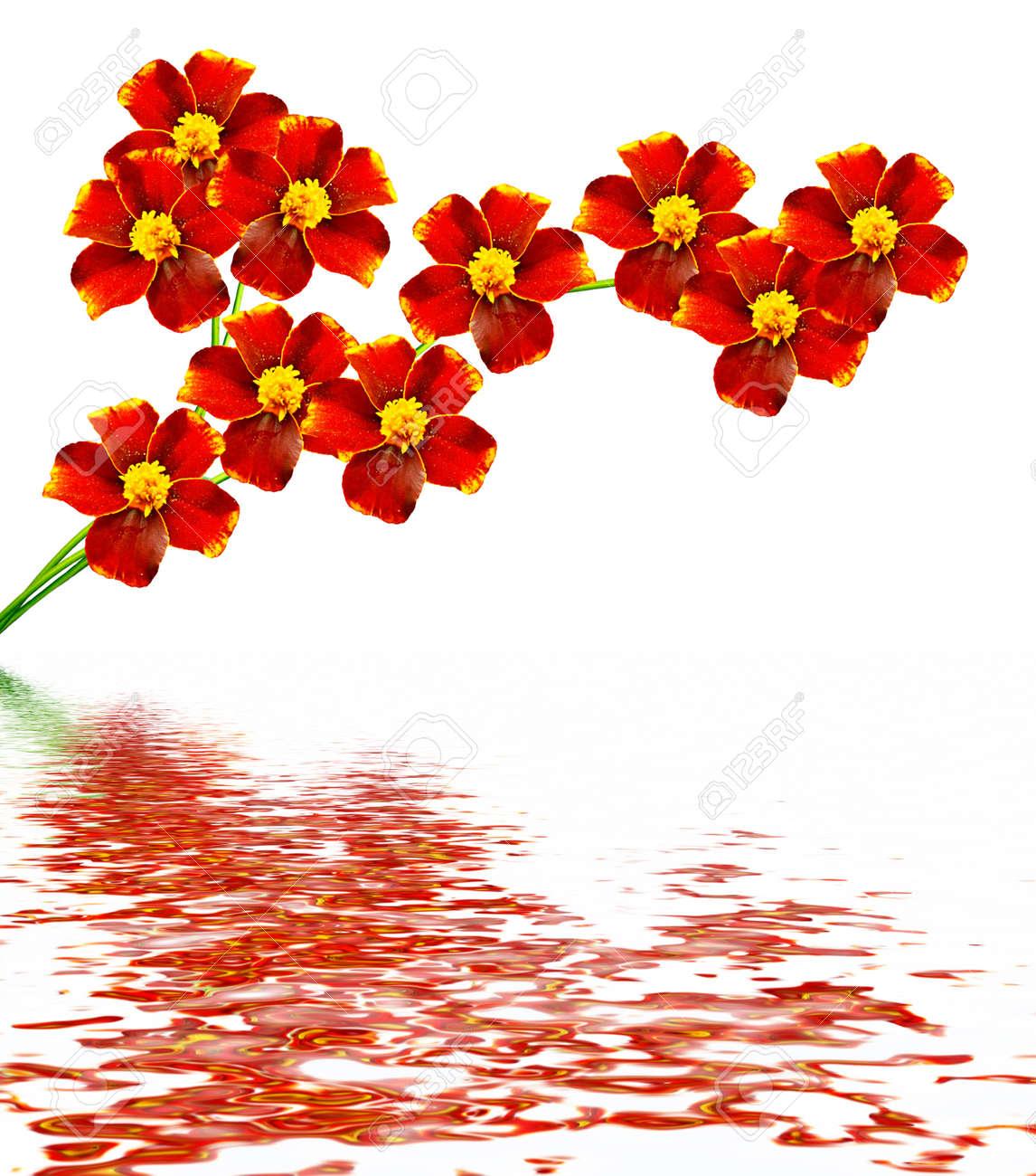 Marigold flowers isolated on white background autumn flowers stock marigold flowers isolated on white background autumn flowers stock photo 52762736 mightylinksfo