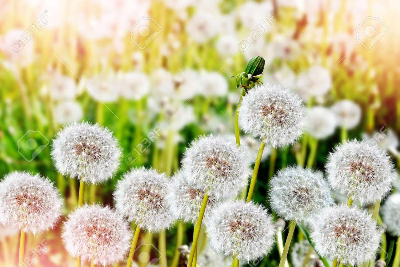 fluffy dandelion flower against the background of the summer.. stock