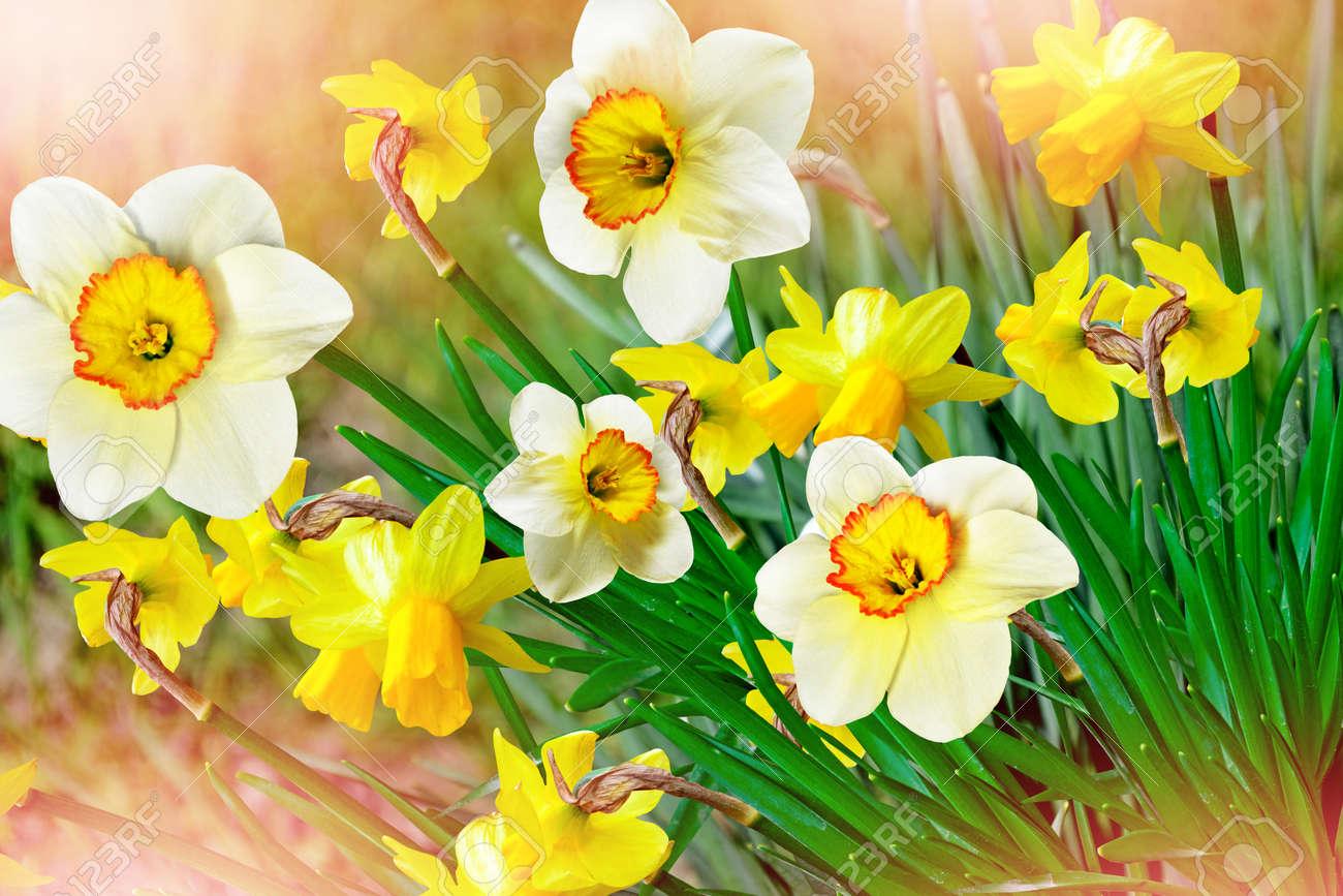Spring landscape beautiful spring flowers daffodils yellow stock spring landscape beautiful spring flowers daffodils yellow flowers stock photo 55497711 mightylinksfo