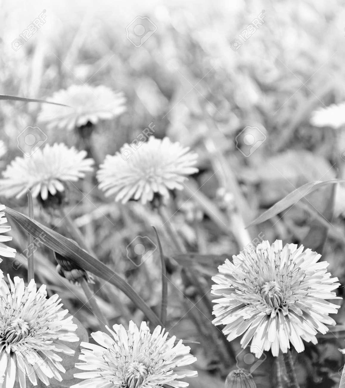 Fleur De Pissenlit Moelleux Dans Le Contexte Du Paysage D Ete