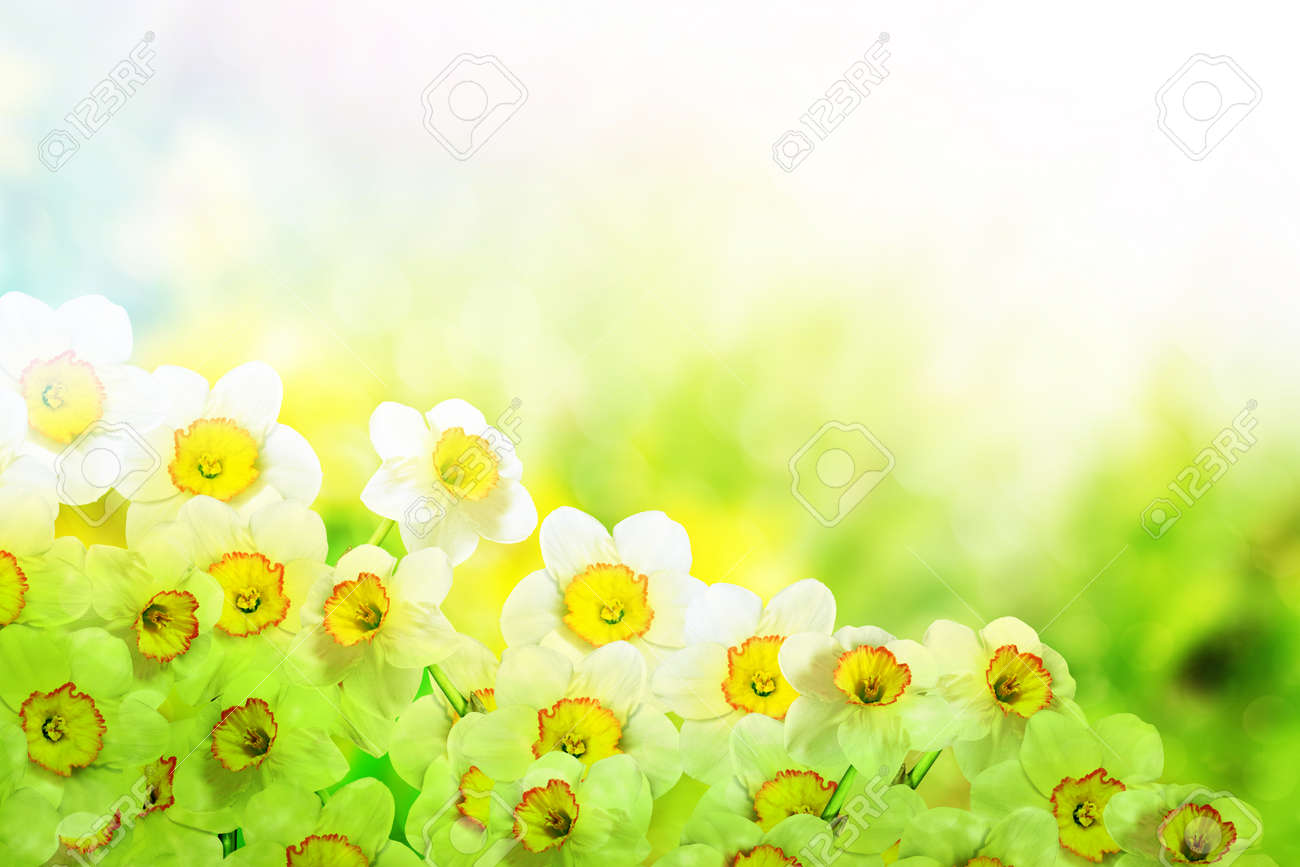 Spring landscape beautiful spring flowers daffodils yellow stock spring landscape beautiful spring flowers daffodils yellow flowers stock photo 56698058 mightylinksfo