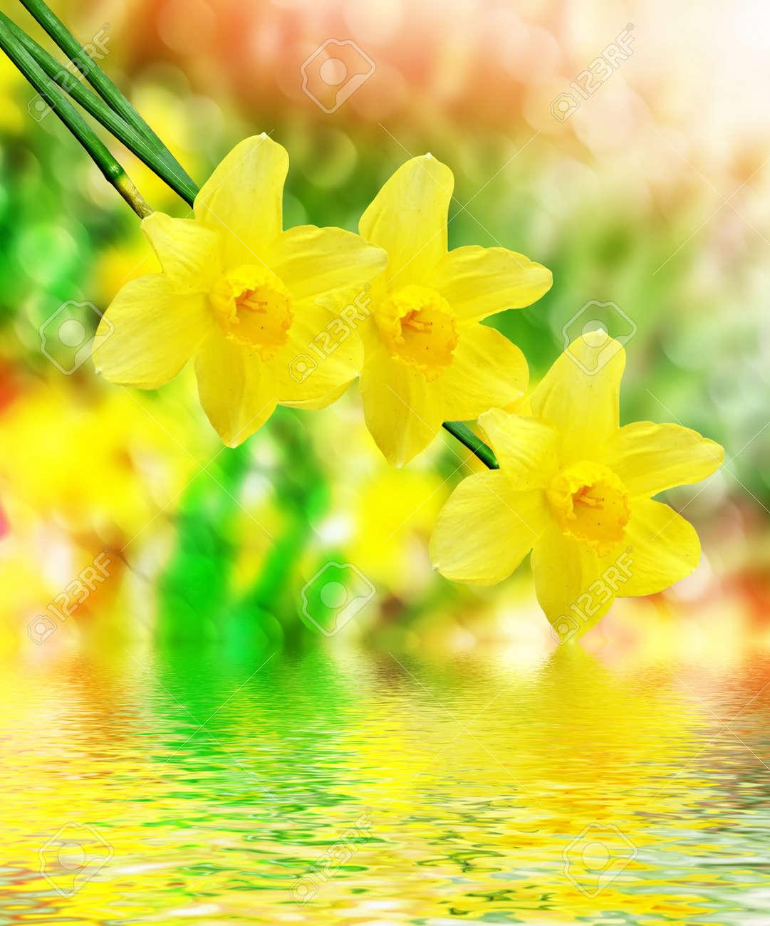 Spring landscape beautiful spring flowers daffodils yellow stock spring landscape beautiful spring flowers daffodils yellow flowers stock photo 57608253 mightylinksfo