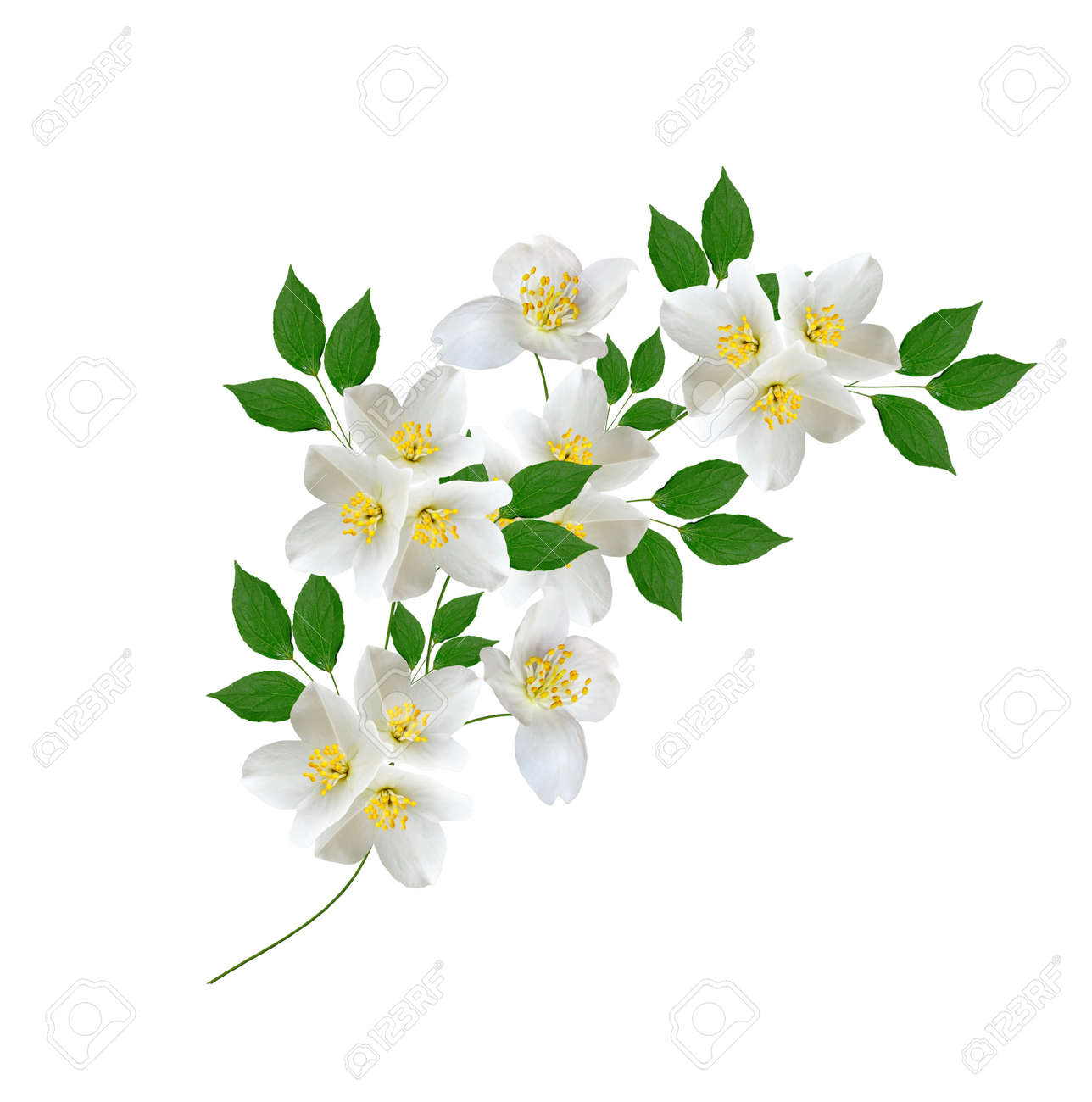 White Jasmine Flower Branch Of Jasmine Flowers Isolated On Stock