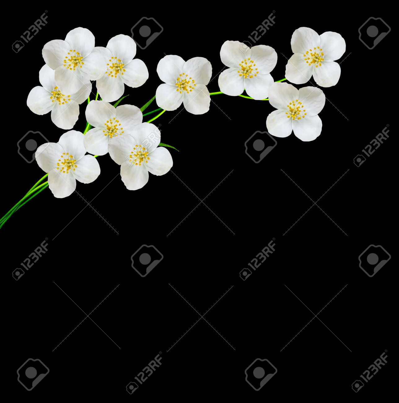 White Jasmine Flower Branch Of Jasmine Flowers Isolated On Stock