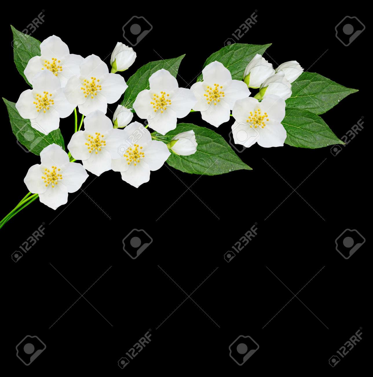 White jasmine flower branch of jasmine flowers isolated on stock stock photo white jasmine flower branch of jasmine flowers isolated on black background izmirmasajfo