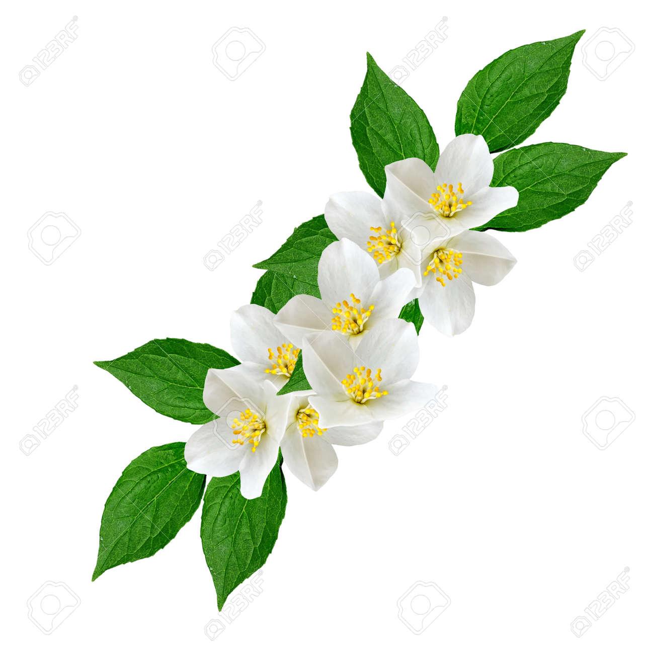 White jasmine flower branch of jasmine flowers isolated on stock stock photo white jasmine flower branch of jasmine flowers isolated on white background spring flowers izmirmasajfo Gallery