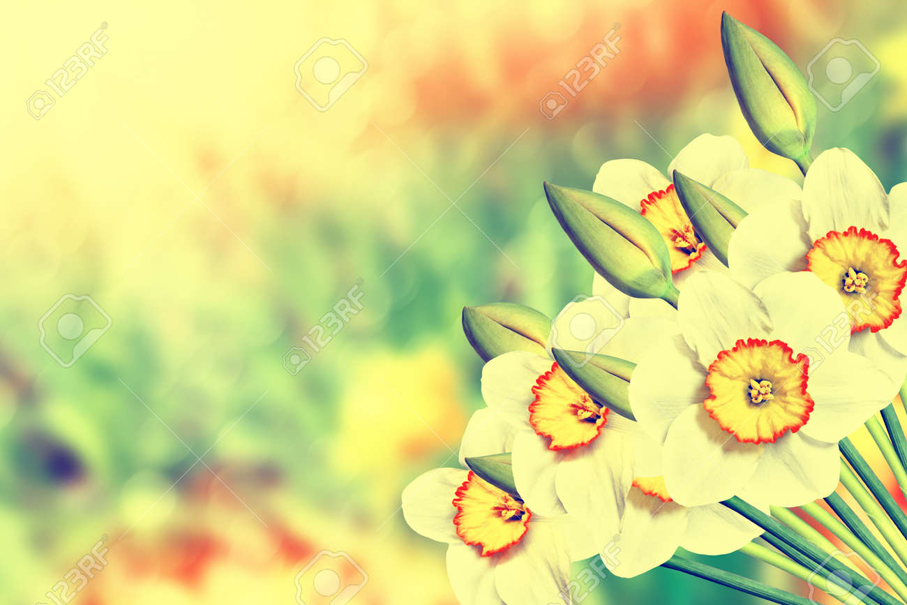 Spring landscape beautiful spring flowers daffodils yellow stock spring landscape beautiful spring flowers daffodils yellow flowers stock photo 62216595 mightylinksfo