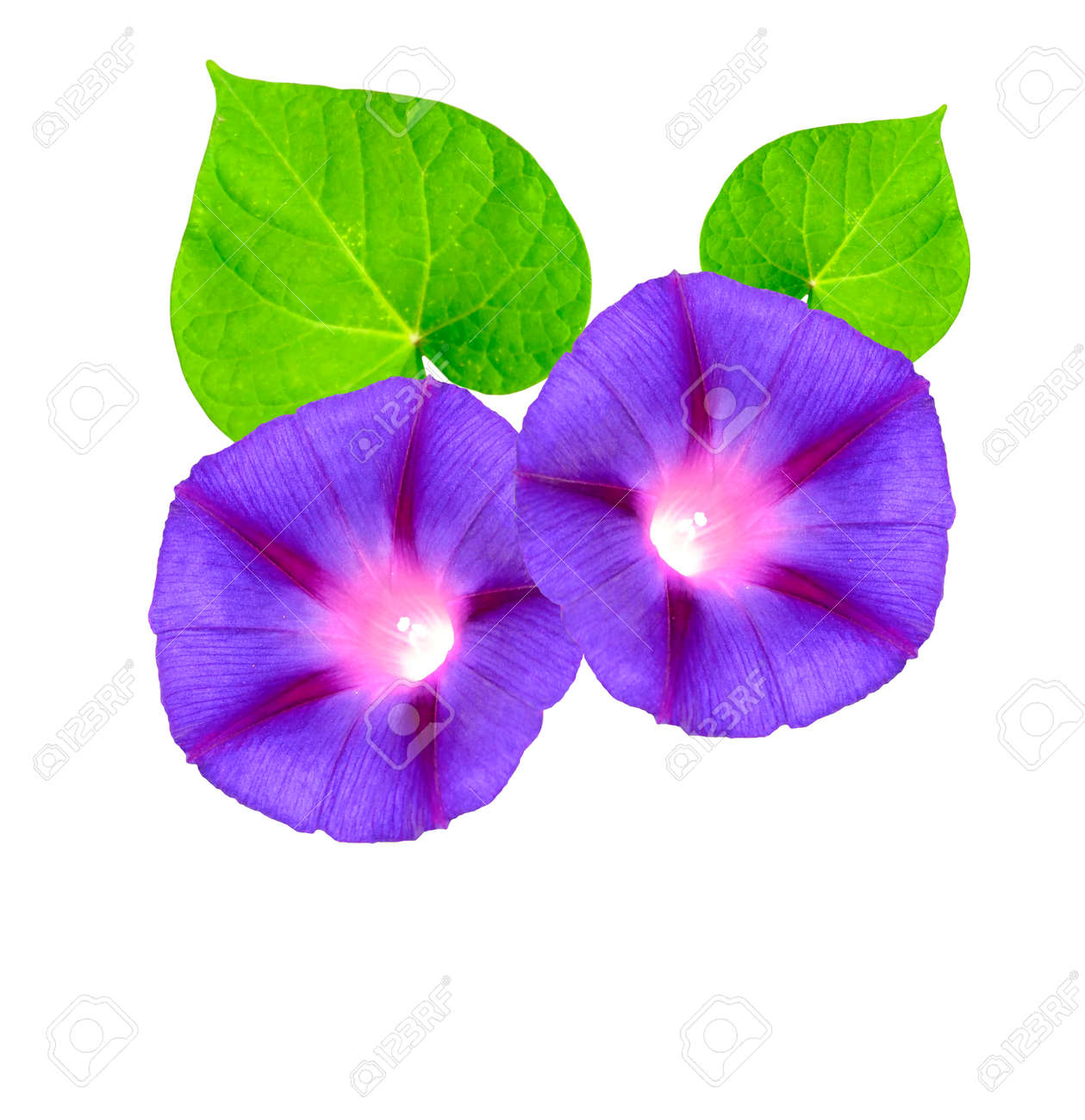 Autumn Colorful Morning Glory Flowers Isolated On White Background