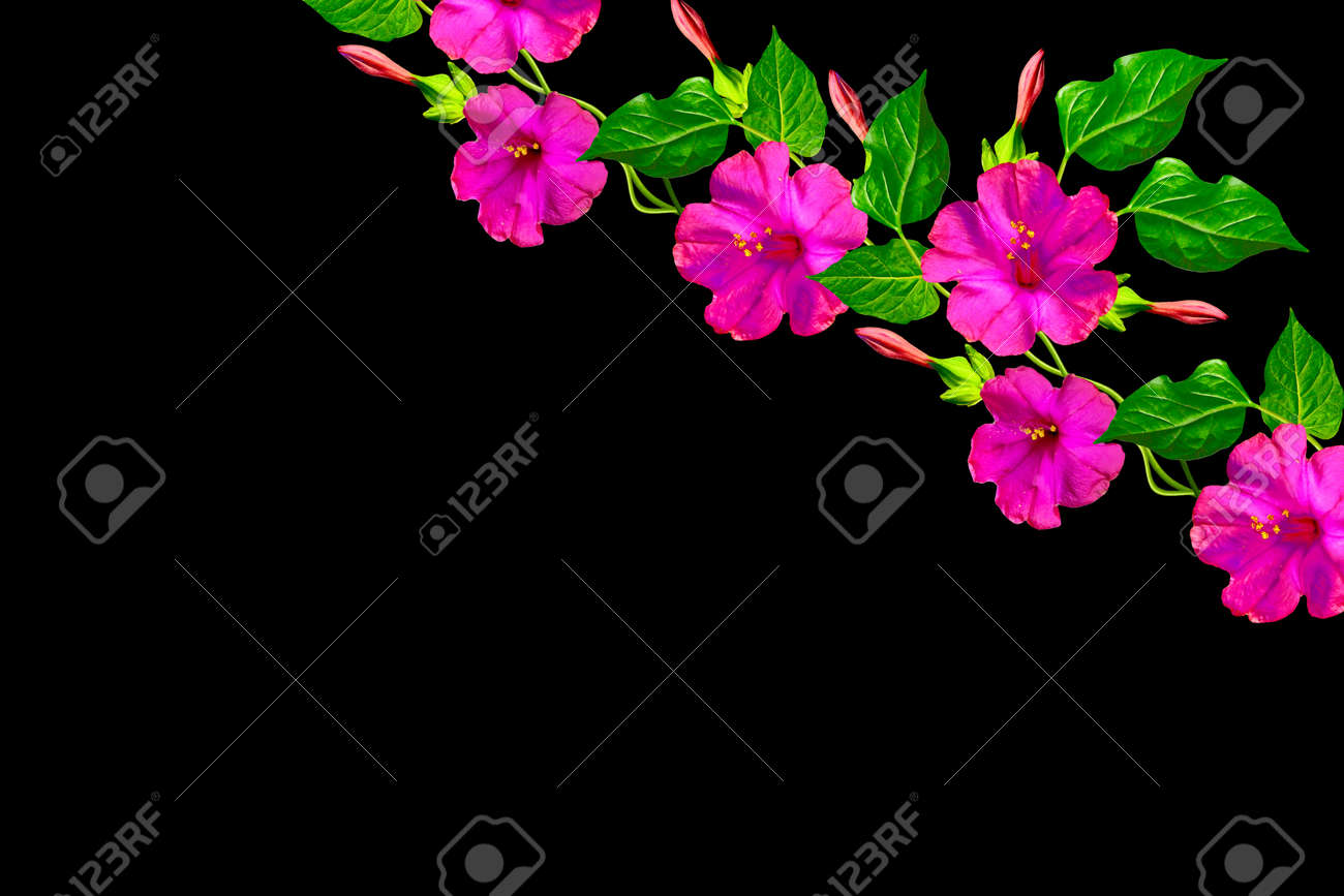 Petunias Isolated On A Black Background Colorful Flowers Stock Photo Picture And Royalty Free Image Image 69907074