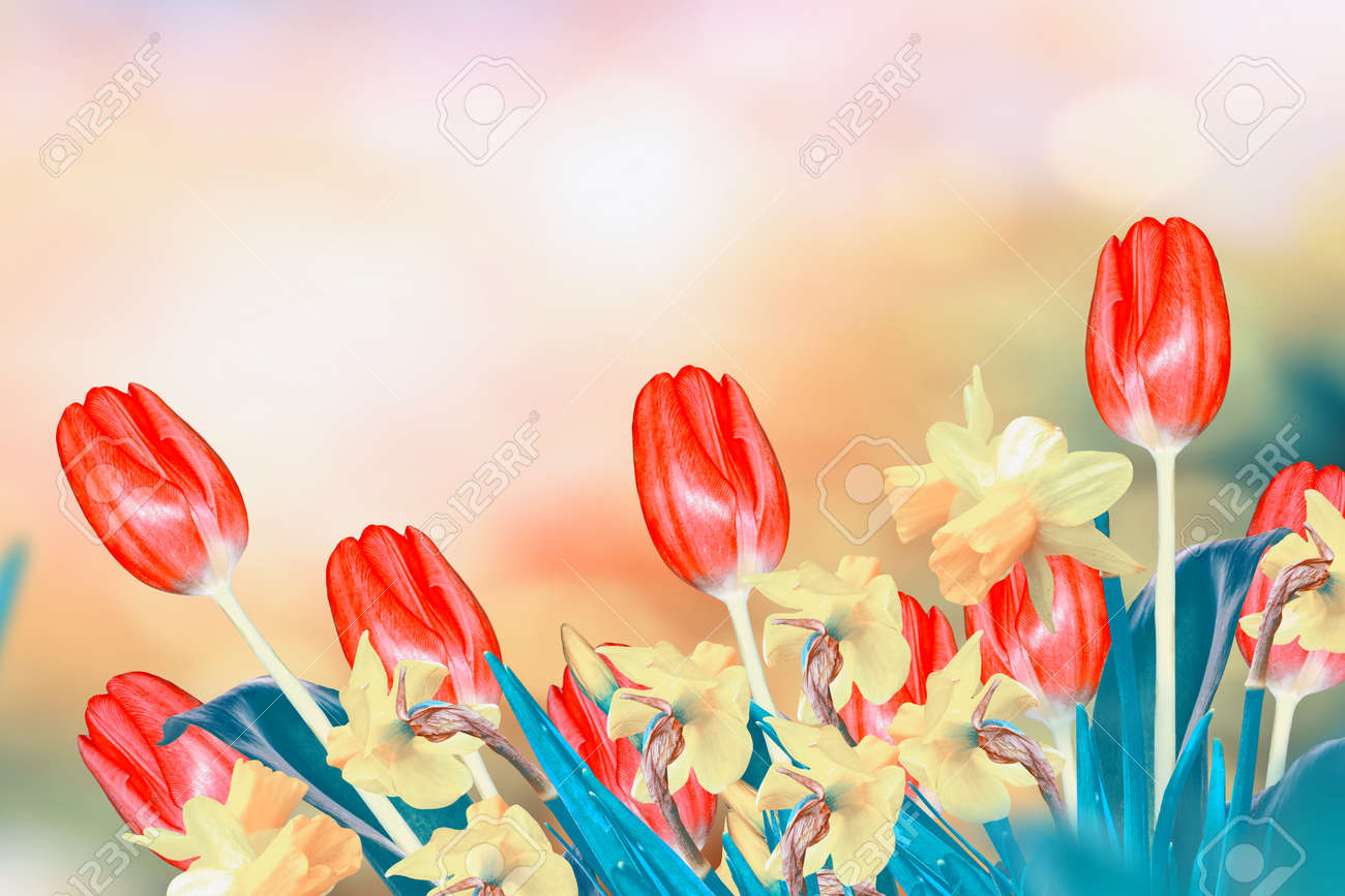 Bright And Colorful Spring Flowers Daffodils And Tulips Stock Photo