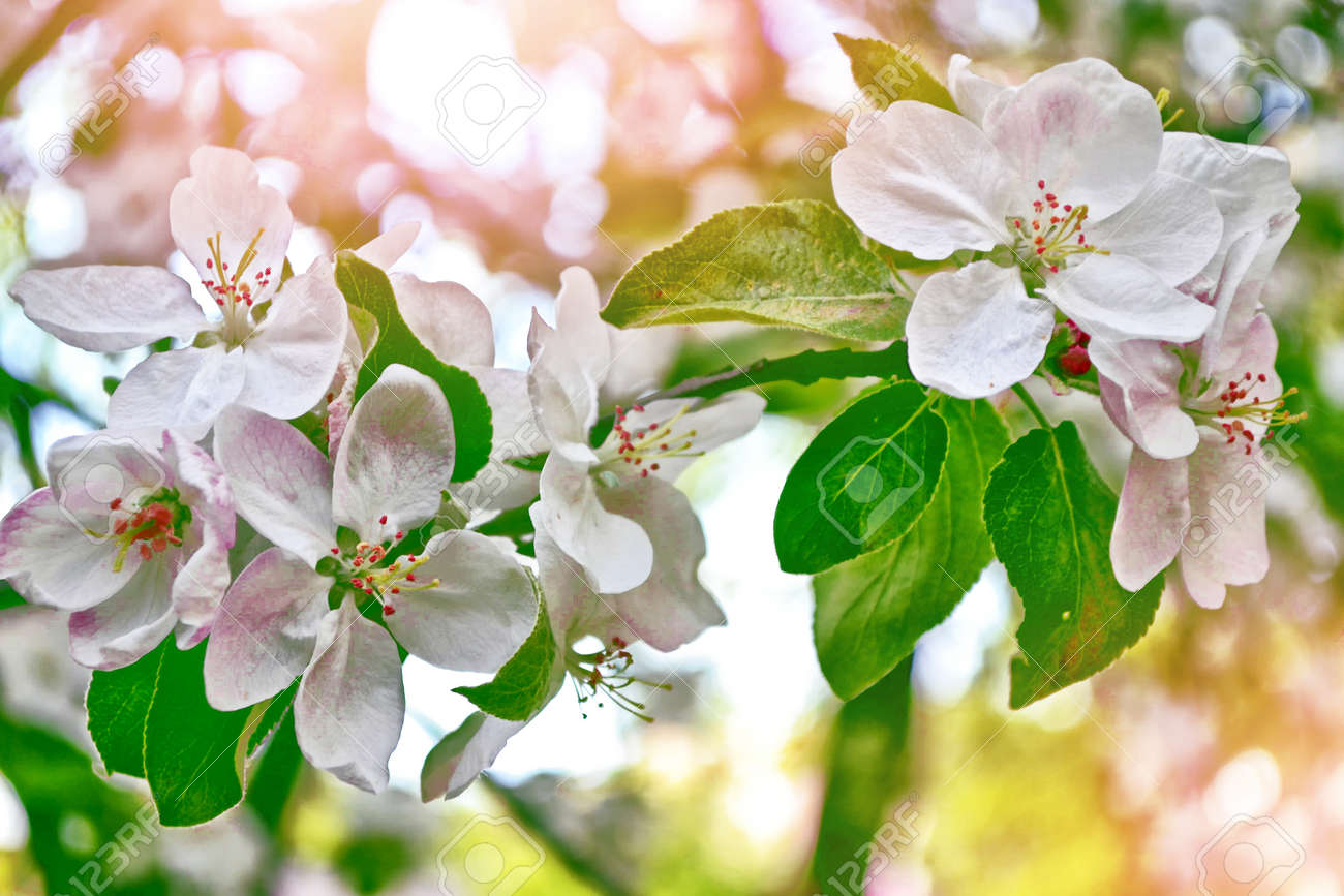 Blossoming branch apple. Bright colorful spring flowers Stock Photo - 73526636