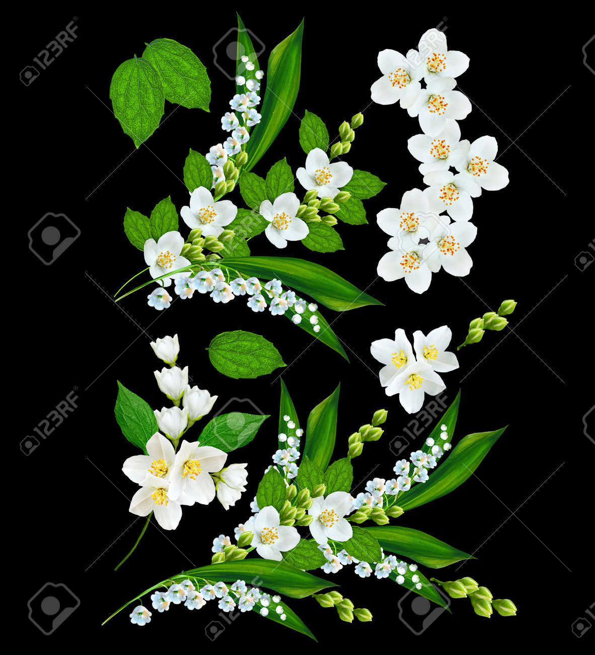 Branch Of Jasmine Flowers Isolated On Black Background Stock Photo