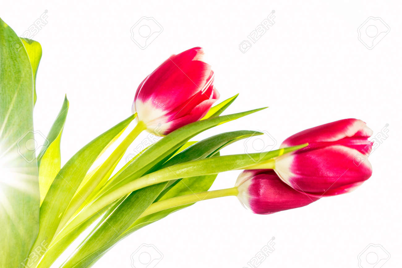 spring flowers tulips isolated on white background. - 136182972