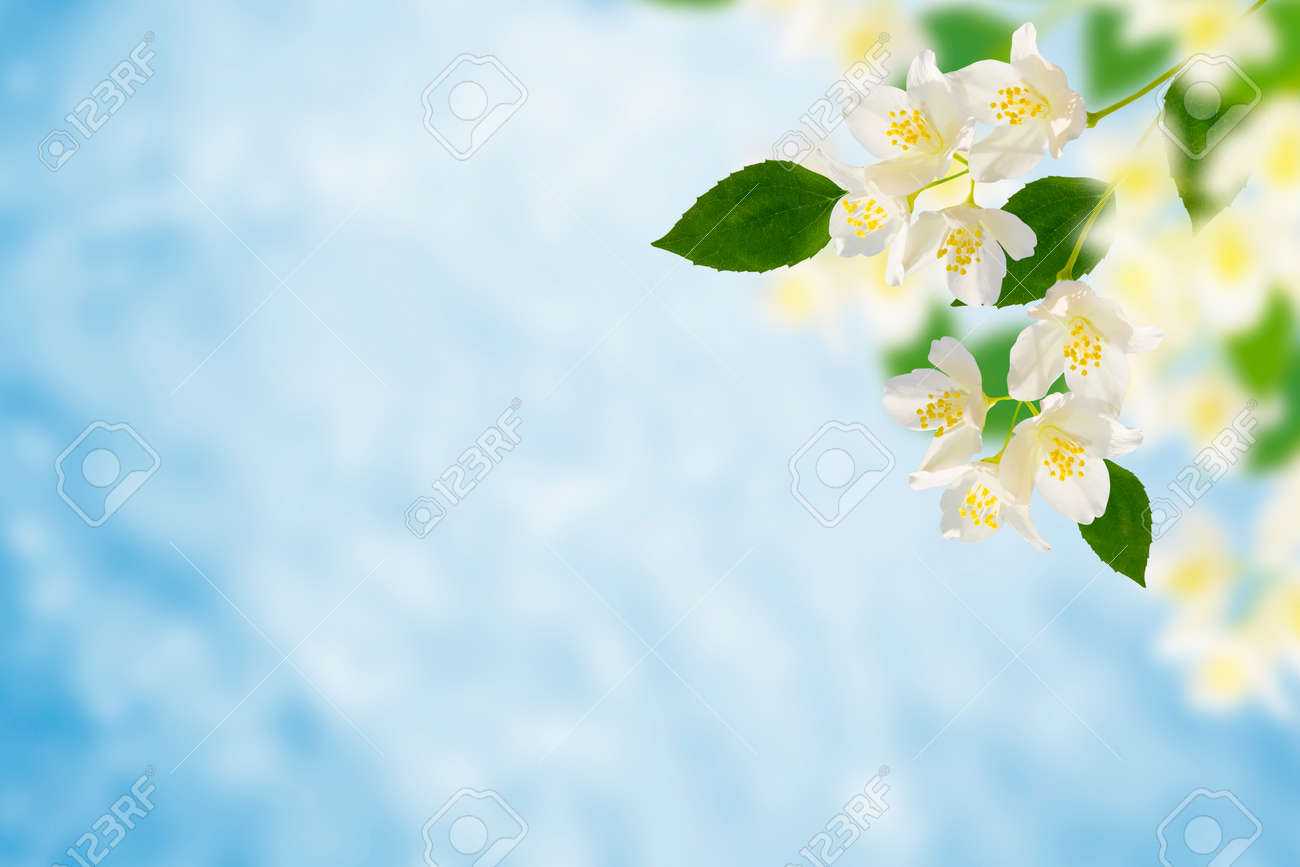 White jasmine. The branch delicate spring flowers. nature - 136689134