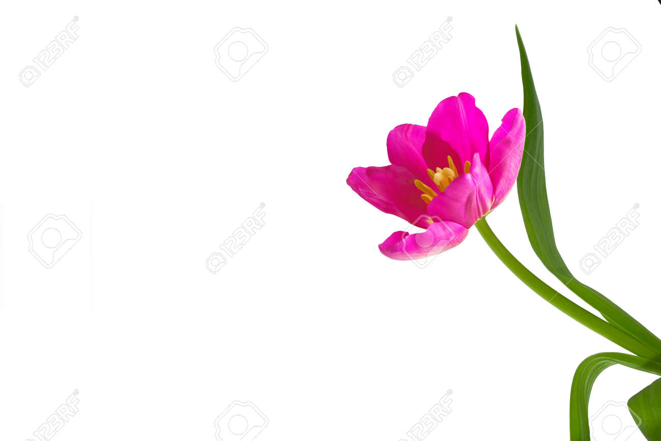 spring flowers tulips isolated on white background. - 141711075