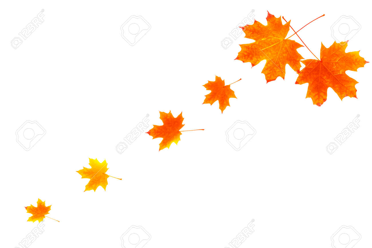 Bright autumn maple leaf on a white background. foliage. Fall concept - 154542901