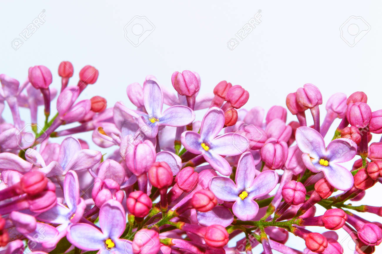 spring flowers lilac isolated on white background. nature - 163349087