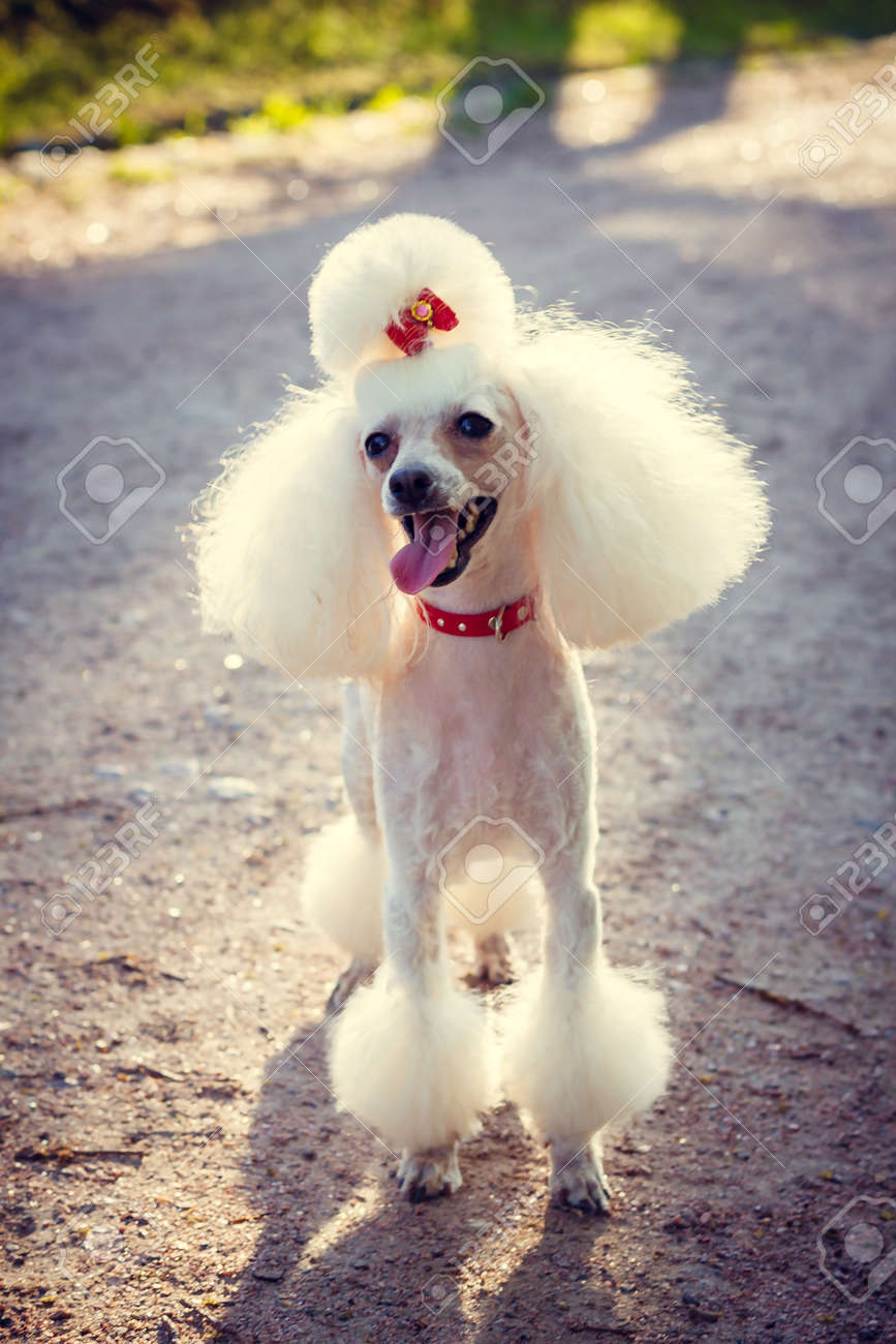 Incredible Dog Poodle With A Haircut For A Walk Dog Poodle Dog With A Natural Hairstyles Runnerswayorg
