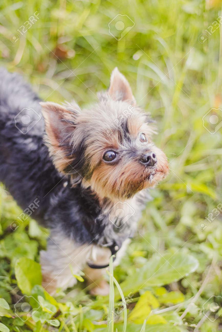 Yokshire Terrier for a walk in the grass. little dog. a pet . Sheared dog - 129157274
