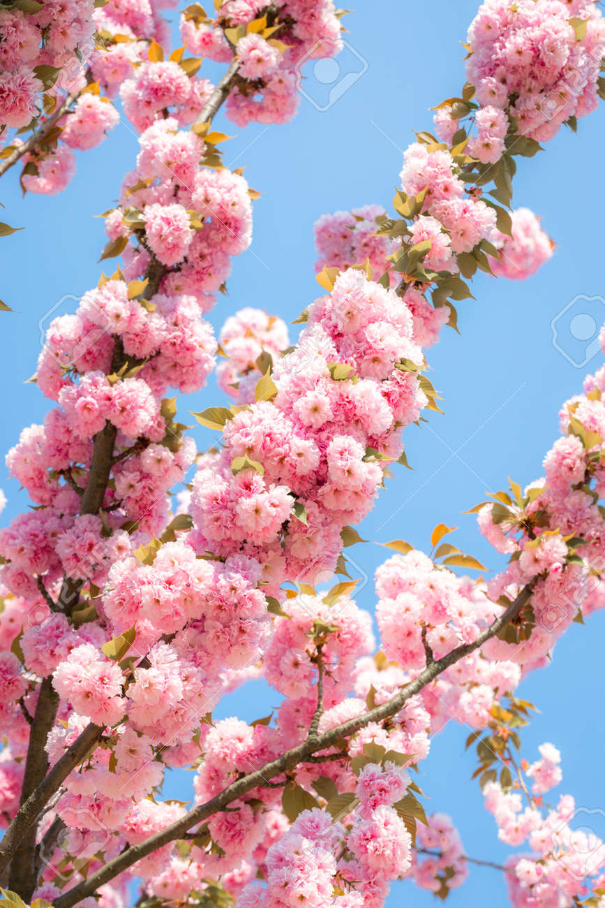 Blooming Cherry Tree With Delicate Terry Flowers Pink Blossoming