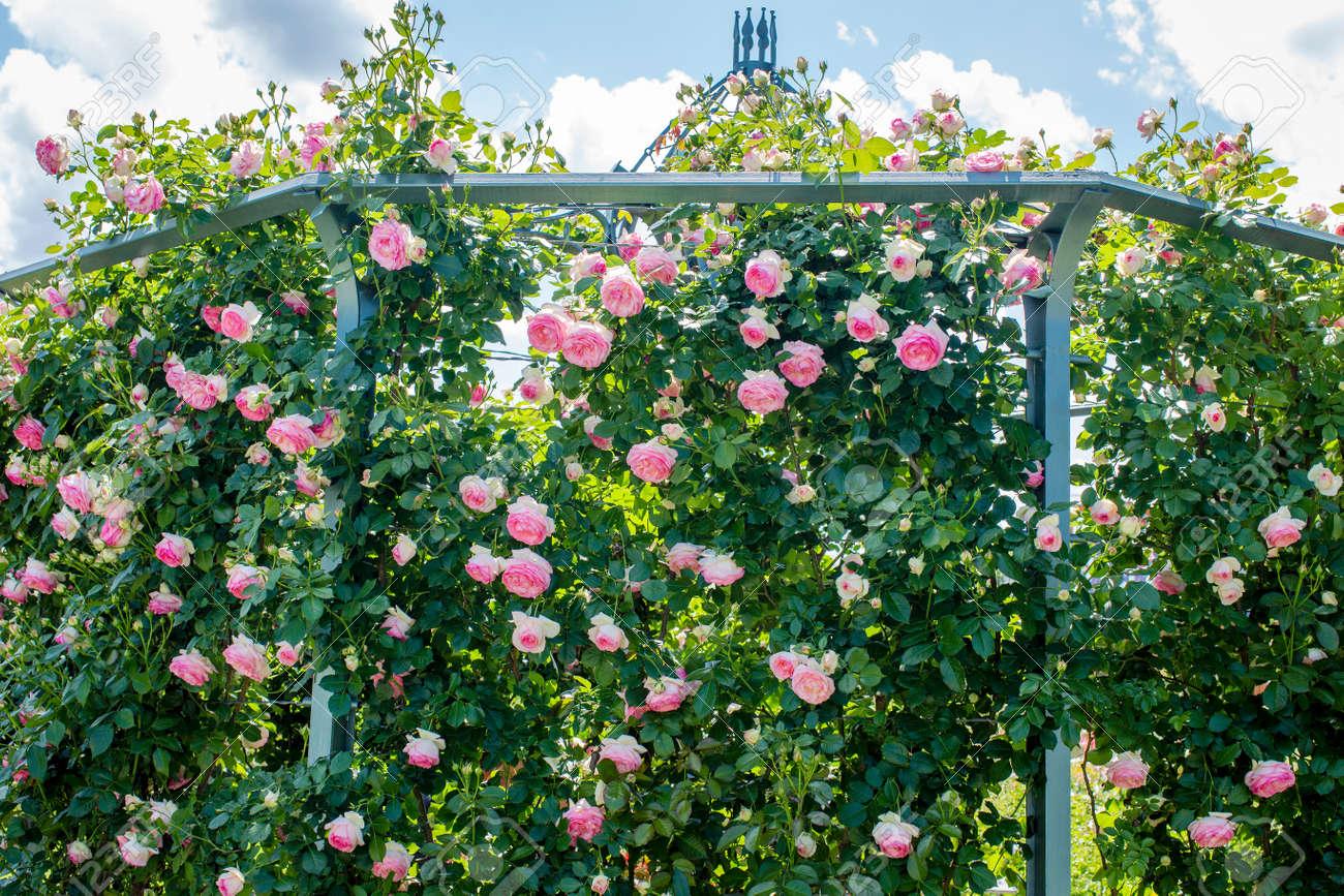 Pink Rose Eden Climbing Along Base Of The Arbor In The Garden