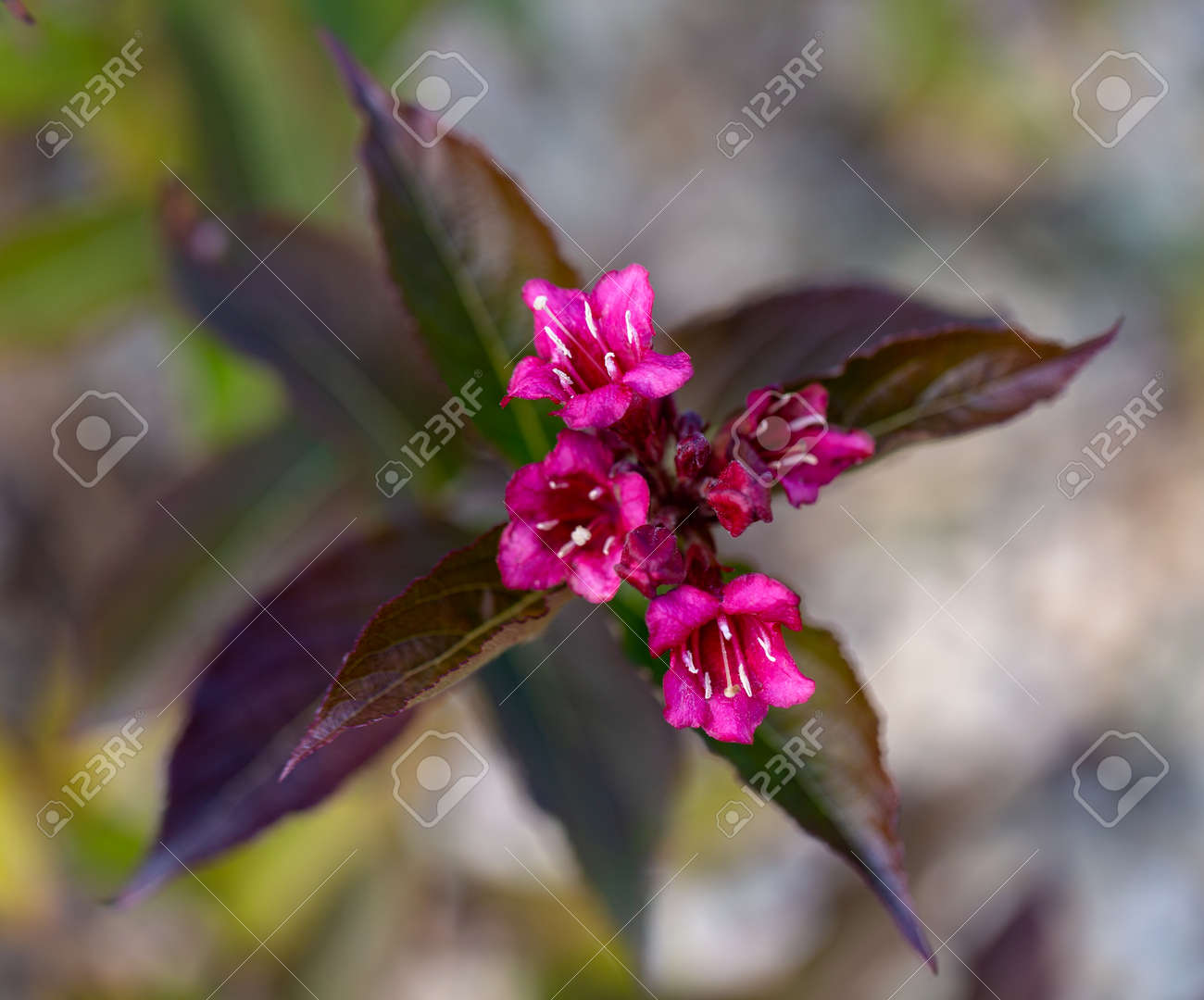 Wine And Roses Weigela Branch With Purple Leaves And Pink Flowers Stock Photo Picture And Royalty Free Image Image 141887427