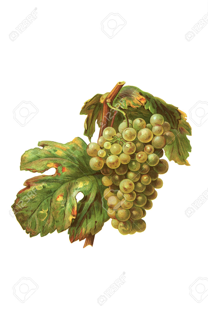 Grapes in white isolated Stock Photo - 16222126