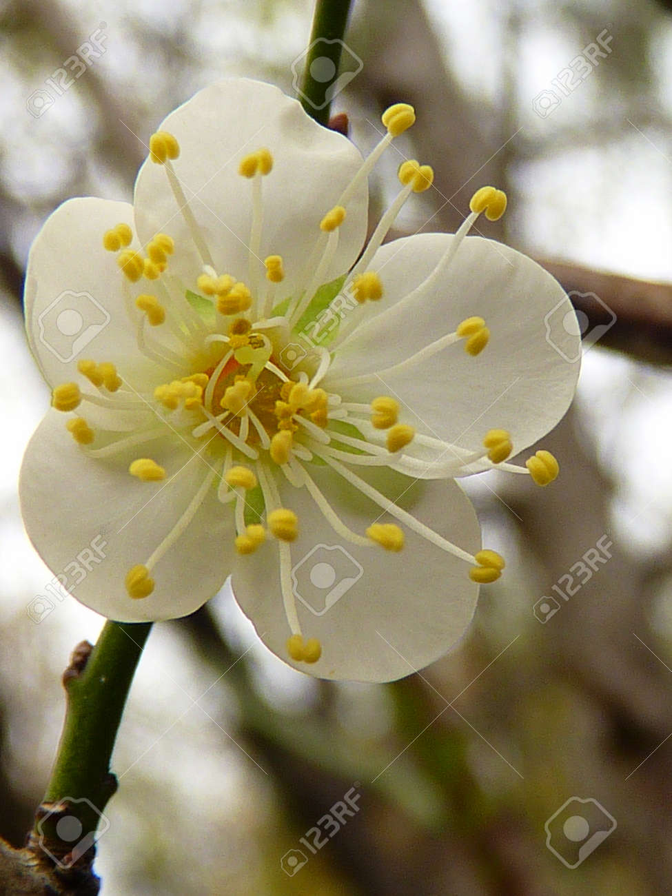 White Plum Flower Stock Photo Picture And Royalty Free Image Image