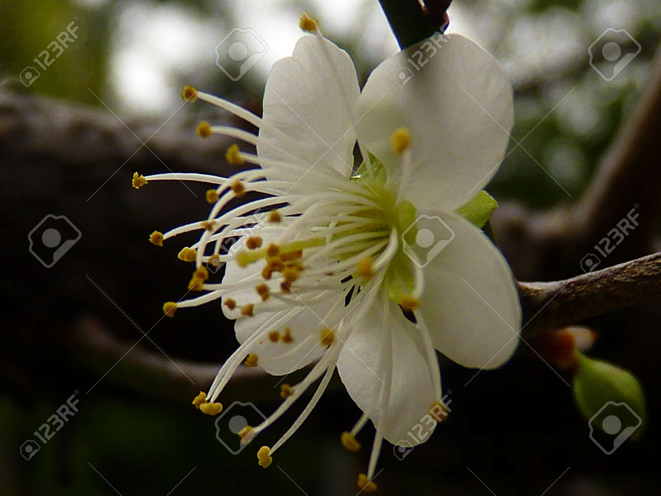 White plum flower stock photo picture and royalty free image image stock photo white plum flower mightylinksfo Choice Image