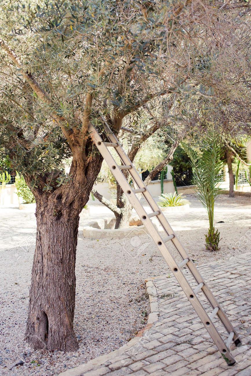 Cueillir Des Olives Dans Le Jardin Avec Des Escaliers En Métal Près ...