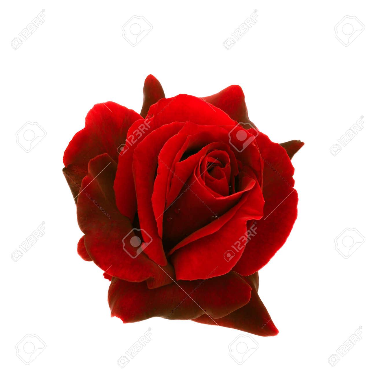 Immagini Stock Rosa Rosso Scuro è Su Uno Sfondo Bianco Image 26929047