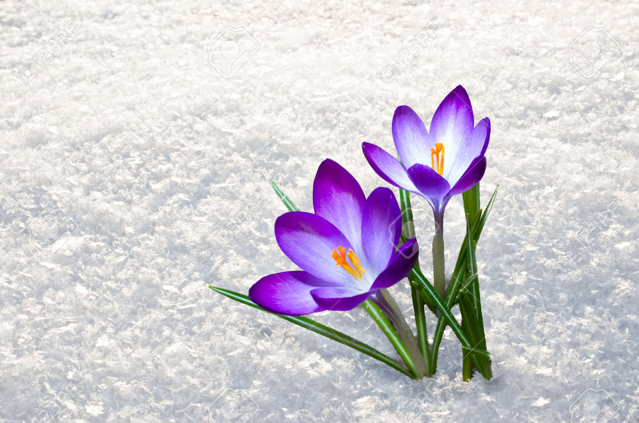 First Blue Crocus Flowers Spring Saffron In Fluffy Snow Stock Photo
