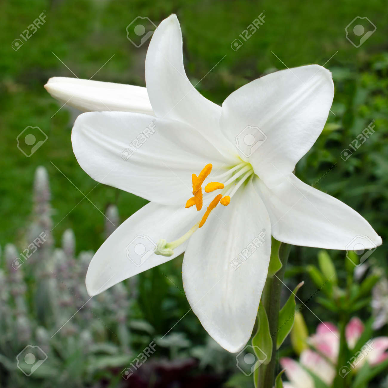 White Lily Varieties Flowers In The Garden Stock Photo Picture