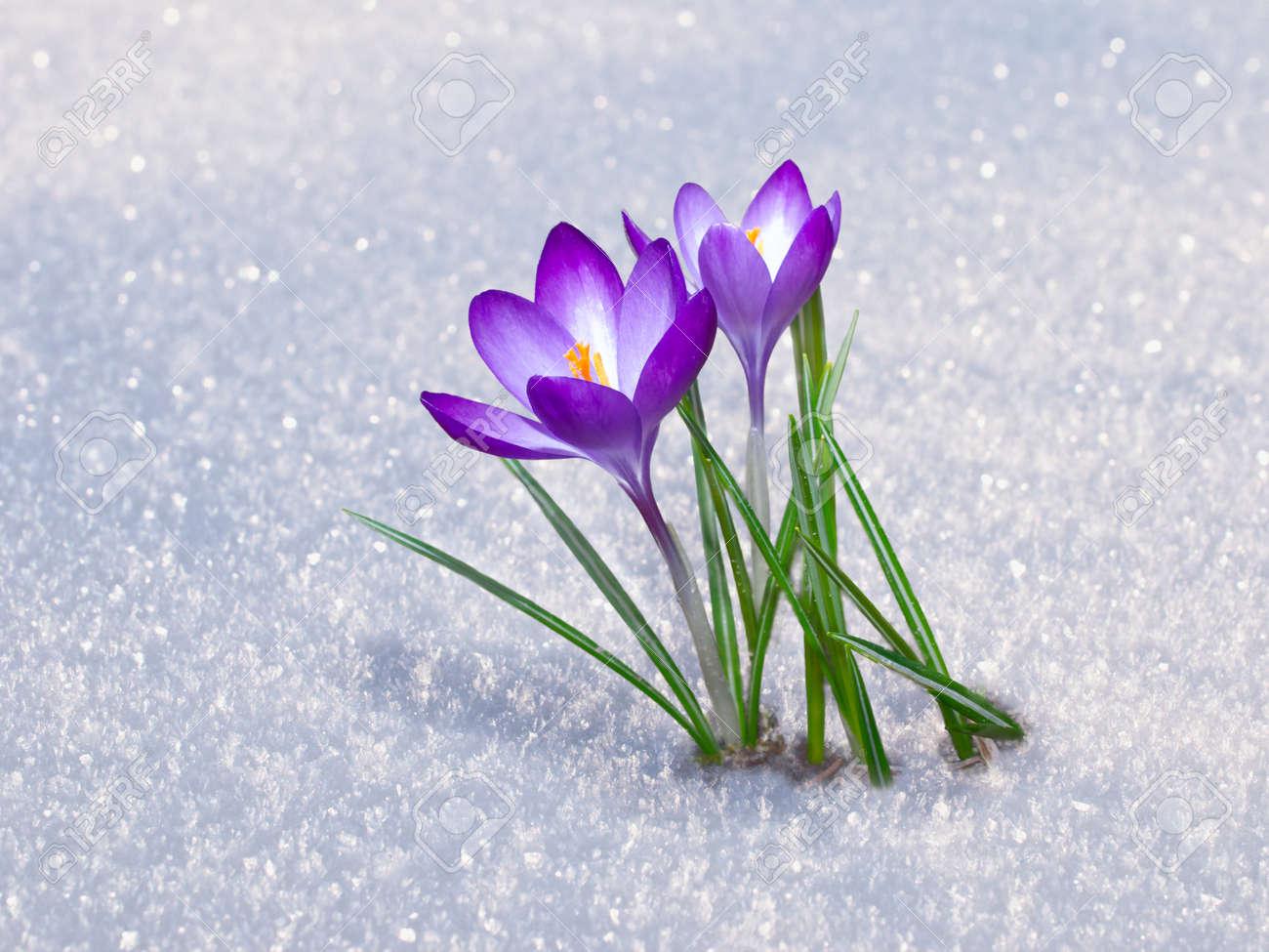 First Blue Crocus Flowers, Spring Saffron In Fluffy Snow Stock ...